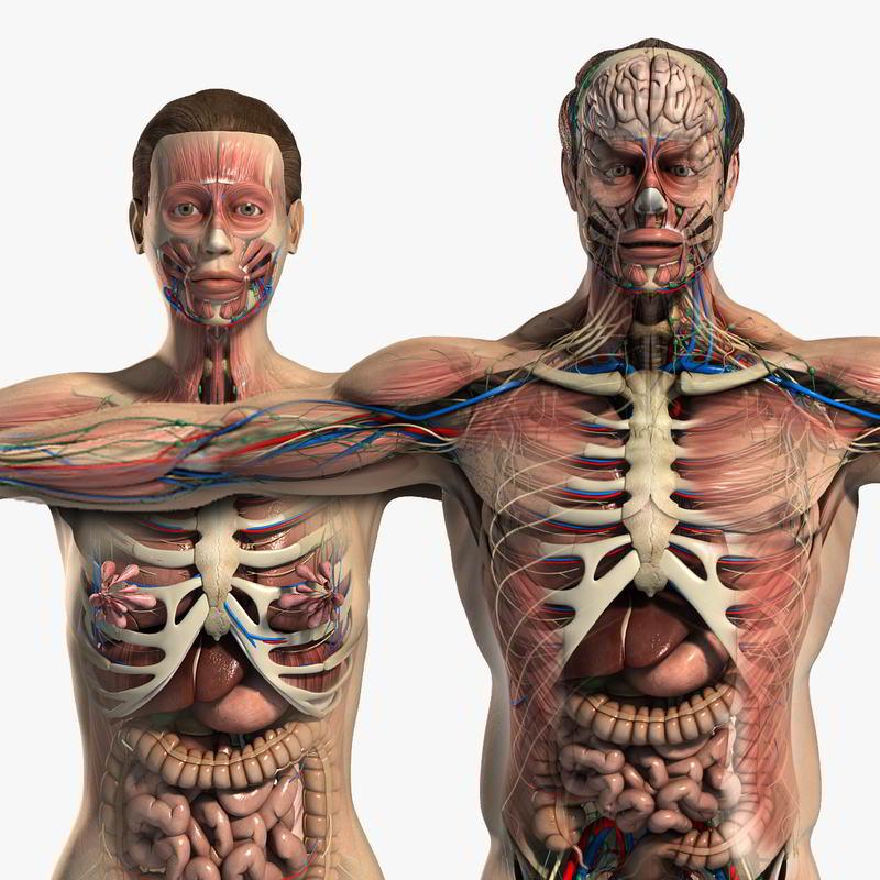 آناتومی کامل انسان TurboSquid – Male and Female Anatomy Full Pack V05